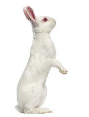 White albino hare isolated on white