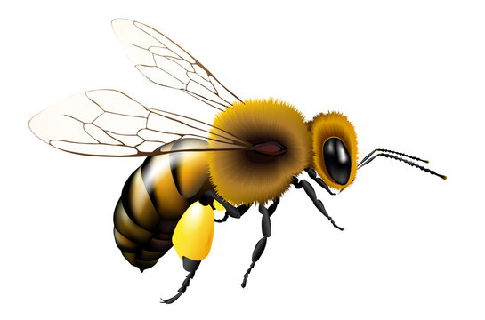 Vector bee with transparent wings for any background