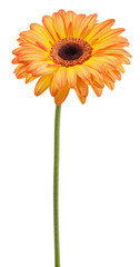 orange gerbera on a stalk
