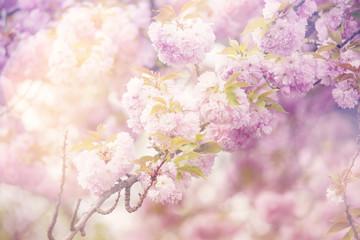 Spring Sakura dreamy background