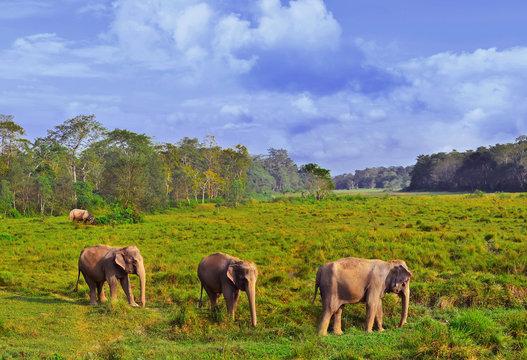 Wild landscape with asian elephants in Chitwan , Nepal