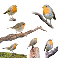 Robins Set Isolated on White