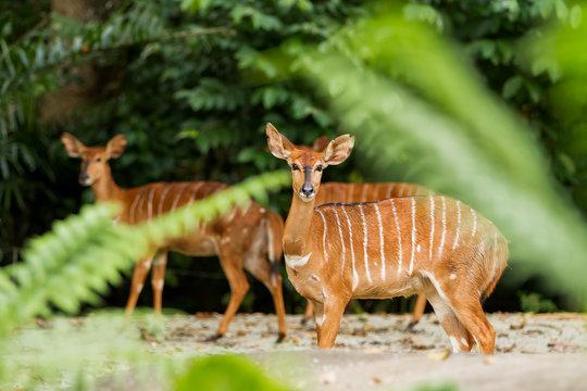Sitatunga or marshbuck (Tragelaphus spekii) is a swamp-dwelling antelope. Female. Singapore.
