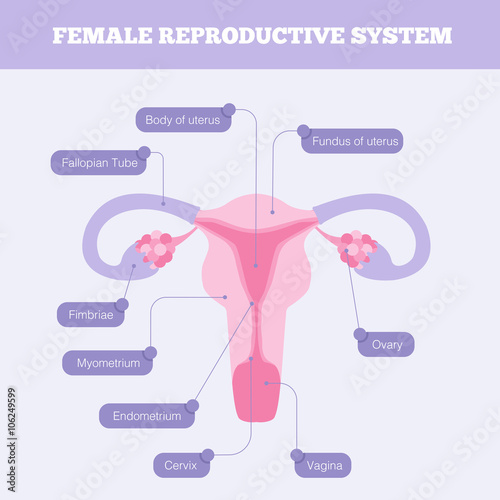 Female reproductive system flat vector infographic. Human anatomy ...