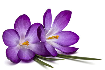 Purple flowers of crocus, isolated on white background