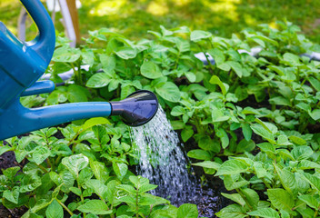 Watering potato plants with watering can