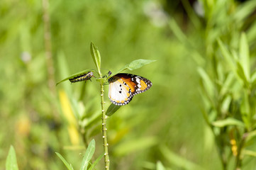 Plain tiger butterfly and caterpillar