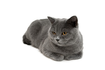gray cat lying on a white background close-up.