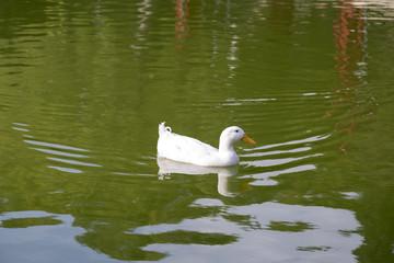 White goose swimming in a lake