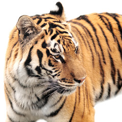dangerous wild animal striped tiger