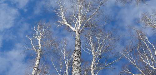 Tops of birch trees against the sky. Panrama of three shots.