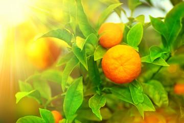 Fotoväggar - Ripe oranges or tangerines hanging on a tree