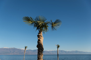 Protection of a palm tree during cold winter