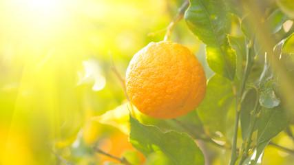 Fotoväggar - Ripe orange hanging on a tree