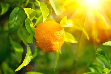 Fotoväggar - Ripe orange or tangerine hanging on a tree