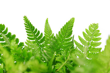 Fern leaves isolated on white background