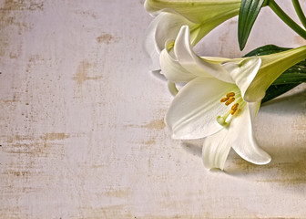 Easter Lily on Grunge Background