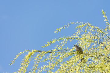 ヒヨドリ、シダレヤナギの新芽を食べる