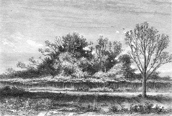 The fig tree Roscoff, Finistere department, vintage engraving.