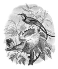 The topaz hummingbird and its nest, vintage engraving.