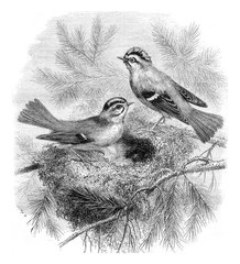 Kinglet whiskers and her nest, vintage engraving.