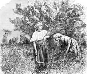 Harvest in the cactus, vintage engraving.