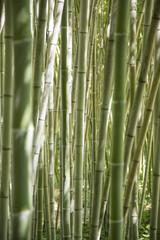 In a forest of giant bamboo