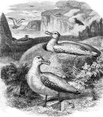 Albatros and its nest, vintage engraving.