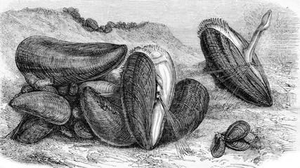 Edible mussels, vintage engraving.