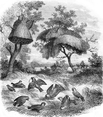 The Republican Weaver and his nest, vintage engraving.