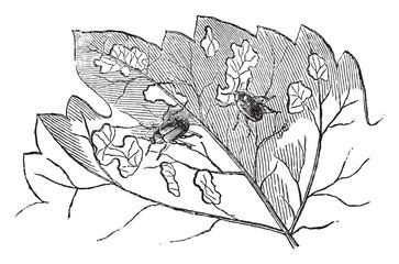 Western grape rootworm, vintage engraving.
