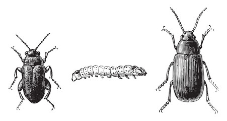 Fig 1,2. Flea beetle with black feet, Fig 3. Cabbage flea beetle