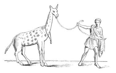 Giraffe tamed, vintage engraving.