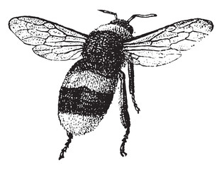 Bumblebee, vintage engraving.