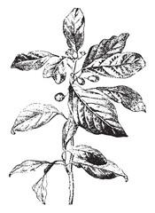 Buckthorn or rhamnus, vintage engraving.