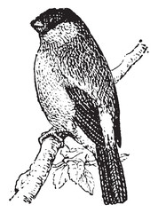 Bullfinch, vintage engraving.