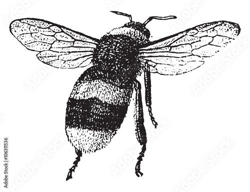 u0026quot bumblebee  vintage engraving  u0026quot  stockfotos und lizenzfreie