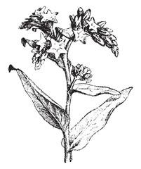 Bugloss, vintage engraving.