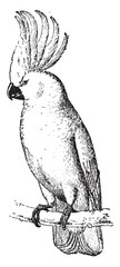 Cockatoo, vintage engraving.