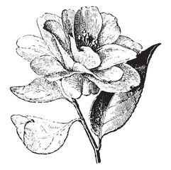 Camellia, vintage engraving.