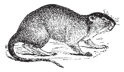 Vole or water rat, vintage engraving.