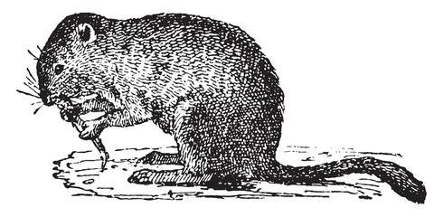 Economic vole, vintage engraving.