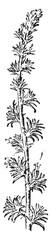 Camphor, vintage engraving.