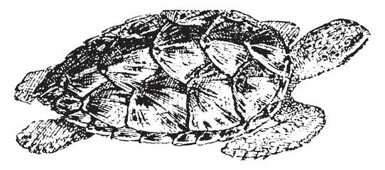 Hawksbill turtle, vintage engraving.