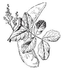 Carob tree, vintage engraving.