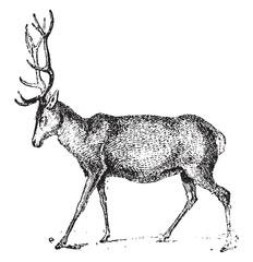 Deer, vintage engraving.