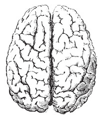 Brain, Top side, vintage engraving.