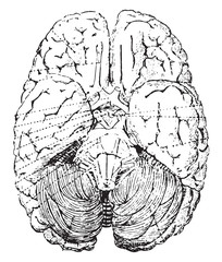 Cerebellum, vintage engraving.