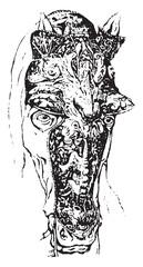 Muzzle, vintage engraving.