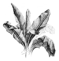 Banana tree, vintage engraving.